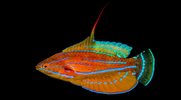Flasher Wrasses